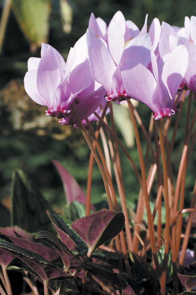 Cyclamen hederifolium, a typical pink selection. Author's photographs