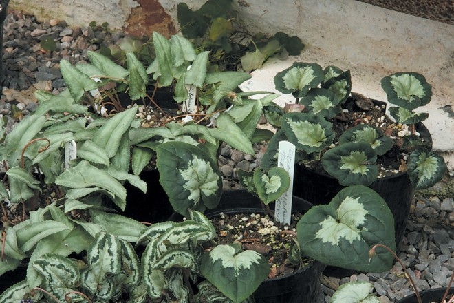 Cyclamen hederifolium, showing a range of foliage characters