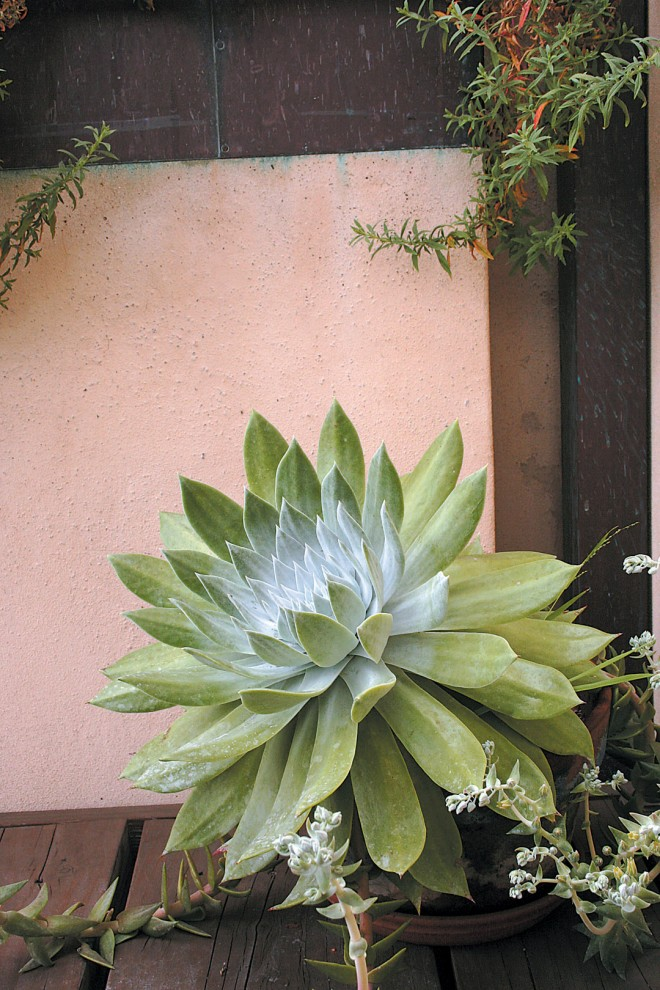 Chalk dudleyas (Dudleya pulverulenta), one of the author's favorite succulents, fill pots throughout the office garden. Photograph by Jessica Harlin - See more at: http://www.pacifichorticulture.org/articles/van-atta-design-studios-sustainable-design-on-a-small-site/#sthash.GjZRrrDt.dpuf
