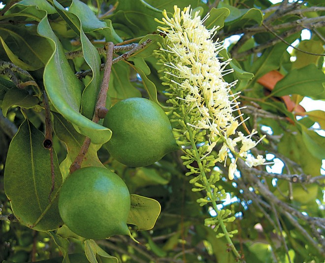 An inflorescence and ripening fruit on macadamia (Macadamia integrifolia). Photograph by Matt Ritter