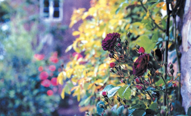 Rosa'Cardinal de Richelieux' on the walls of Santa Caterina. Photograph by Lorry Eason