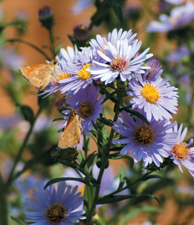 Skippers on Aster chilensis in autumn. Author's photographs, except as noted