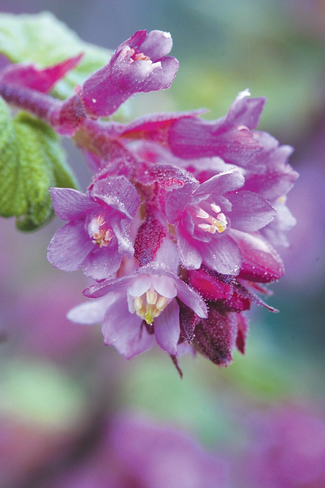 Nectar-rich blossoms of chaparral currant (Ribes malvaceum) feed the hummingbirds through winter