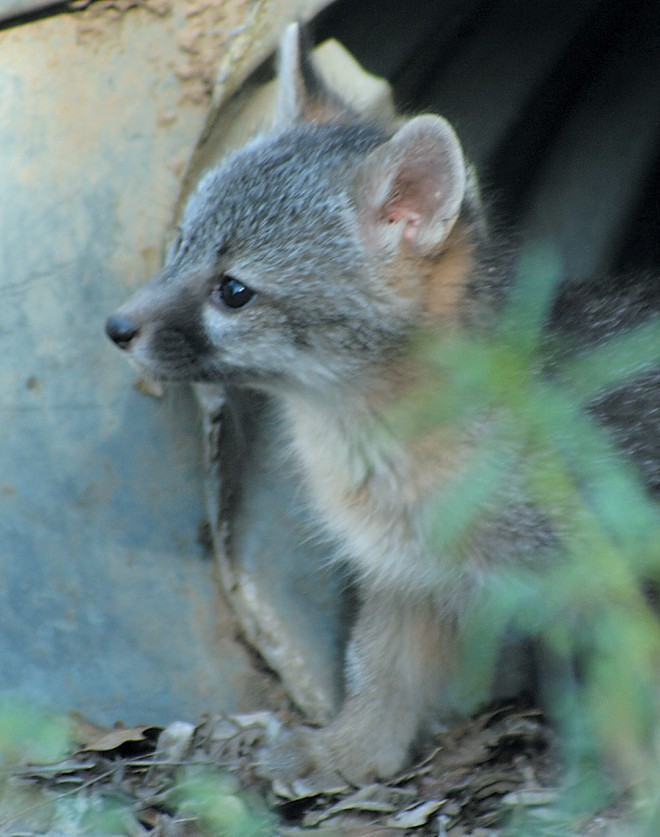 A gray fox pup peeks out of a culvert