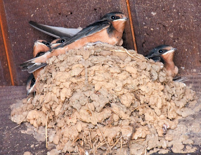 Barn swallow chicks soon to leave their mud nest under the eaves