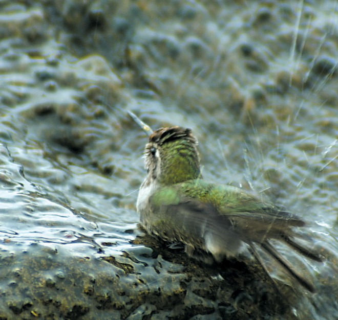 Hummingbirds love to bathe in the shallow depression atop the basalt columns of the Frog Fountain