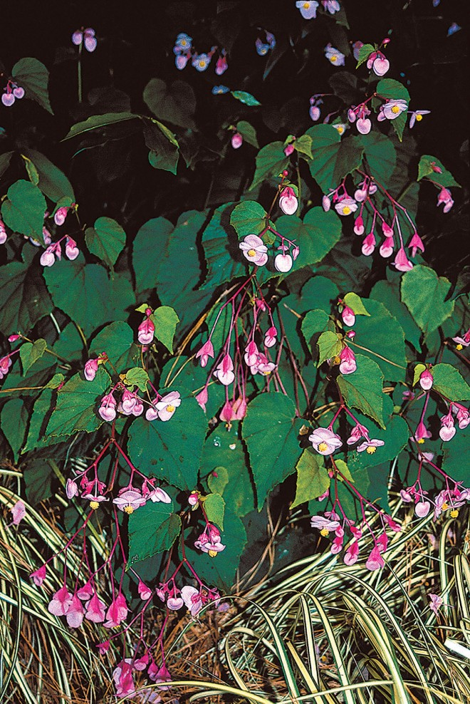 Begonia grandis 'Heron's Pirouette' in the tuberous group. Photographs by Tony Avent, except as noted