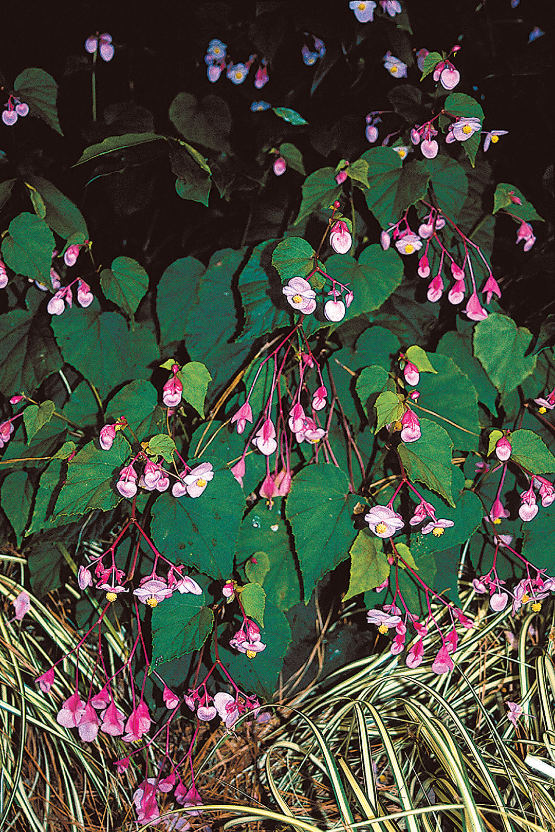Pacific Horticulture Society A Bounty Of Hardier Begonias