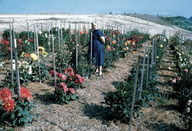 Frances Young in the first Dahlia Garden planted in 1962 at the South Coast Botanic Garden