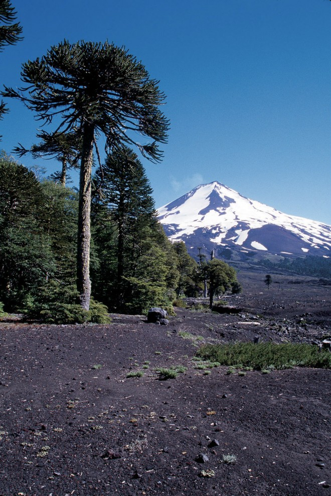 Monkey puzzle trees (Araucaria araucana) in habitat on volcanic slopes in Chile. Photograph by RGT