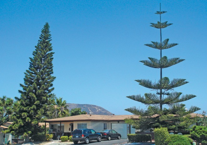 Cook pine (Araucaria columnaris), on left, showing a dense, slender crown; cultivated trees often lean in one direction. Norfolk Island pine (A. heterophylla), on right, showing widely-spaced, horizontal branches