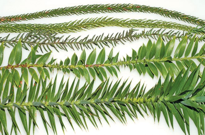 Branchlets of five species of Araucaria, from the top: Cook pine (Araucaria columnaris), Norfolk Island pine (A. heterophylla), hoop pine (A. cunninghamii), bunya-bunya (A. bidwillii), and paraná pine (A. angustifolia)