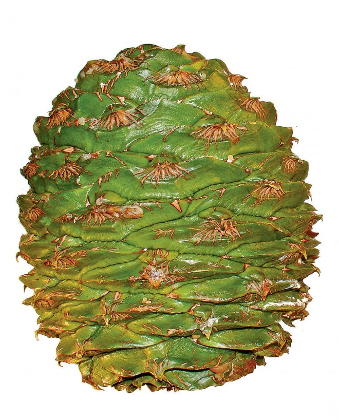 Bunya-bunya (Arucaria bidwillii) seed cone (left) and Coulter pine (Pinus coulteri) cone (right), two of the most massive cones among the conifers; both cones can weigh up to ten pounds or more. Author's photographs, except as noted