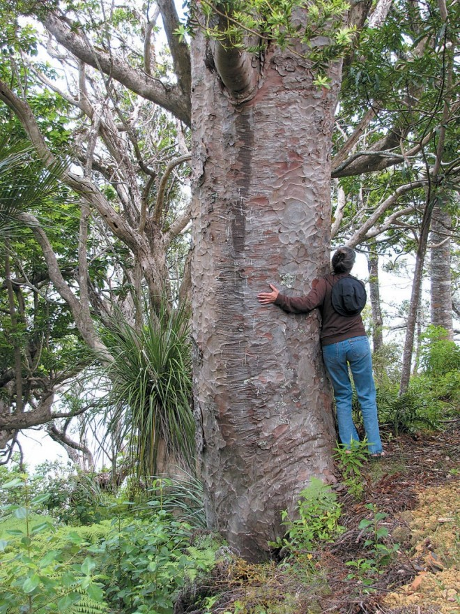 Patchy exfoliating bark characterizes kauri pine (Agathis australis) in a second growth forest near the northern tip of New Zealand. Photograph by RGT