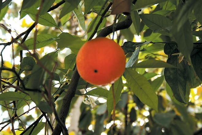 Algerian tangerine (Citrus 'Clementine')