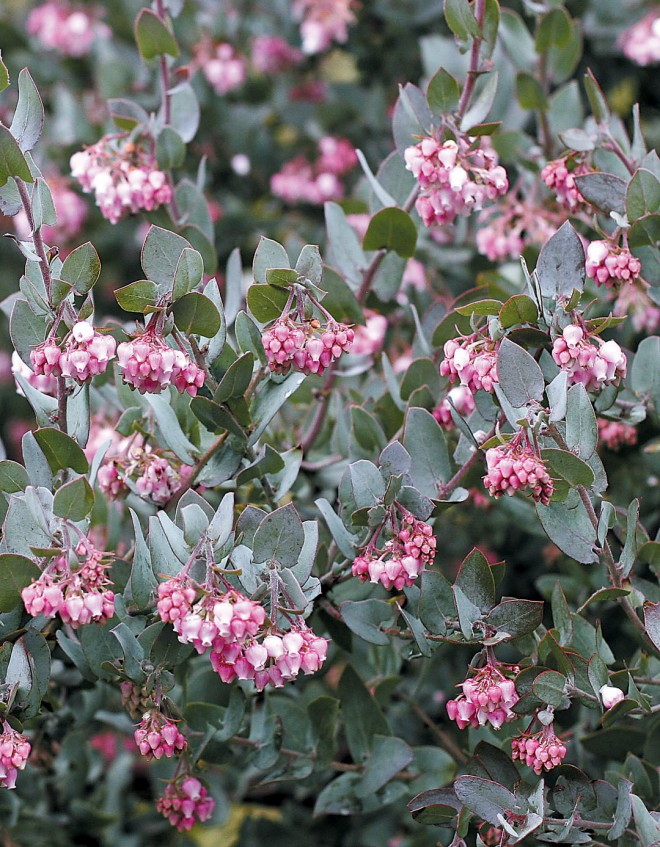 Flowers of Pajaro manzanita (Arctostaphylos pajaroensis), a coastal California species that has proven remarkably hardy in Oregon - See more at: http://www.pacifichorticulture.org/articles/arctostaphylos-for-pacific-northwest-gardens/#sthash.cFQDub9E.dpuf