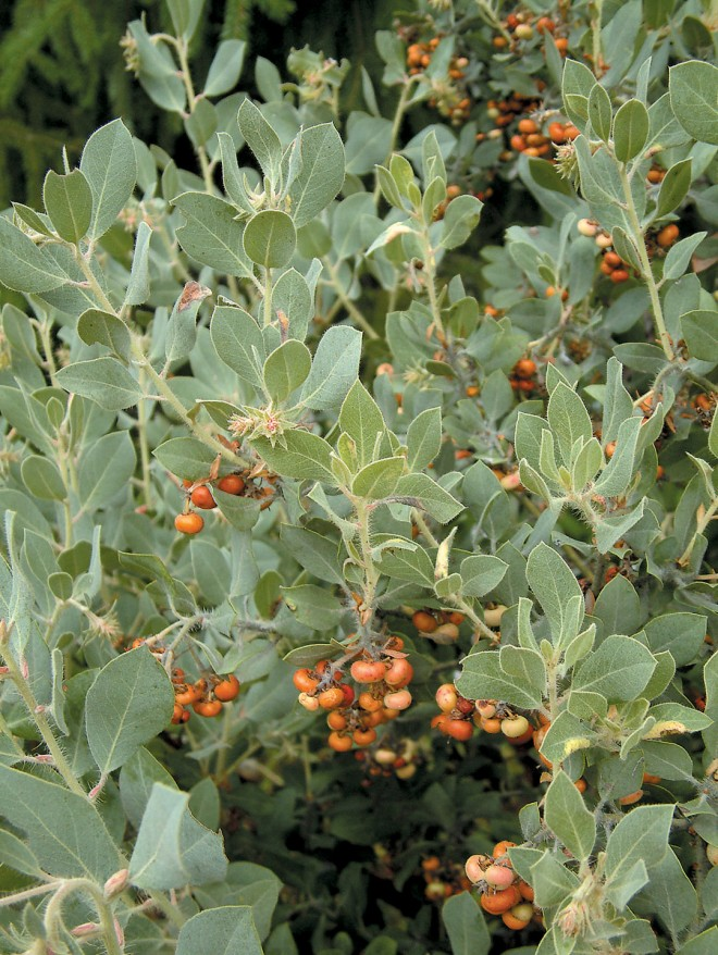 Summer fruits on hoary manzanita (Arctostaphylos canescens - See more at: http://www.pacifichorticulture.org/articles/arctostaphylos-for-pacific-northwest-gardens/#sthash.cFQDub9E.dpuf