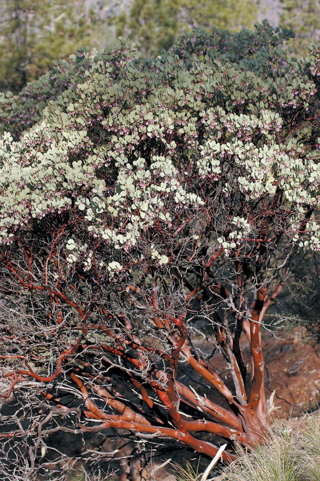 A ruggedly handsome specimen of whiteleaf manzanita (Arctostaphylos viscida) in southwestern Oregon - See more at: http://www.pacifichorticulture.org/articles/arctostaphylos-for-pacific-northwest-gardens/#sthash.cFQDub9E.dpuf