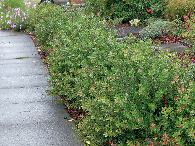 A young hedge of Arctostaphylos 'Sunset'. Author's photograph - See more at: http://www.pacifichorticulture.org/articles/arctostaphylos-for-pacific-northwest-gardens/#sthash.cFQDub9E.dpuf