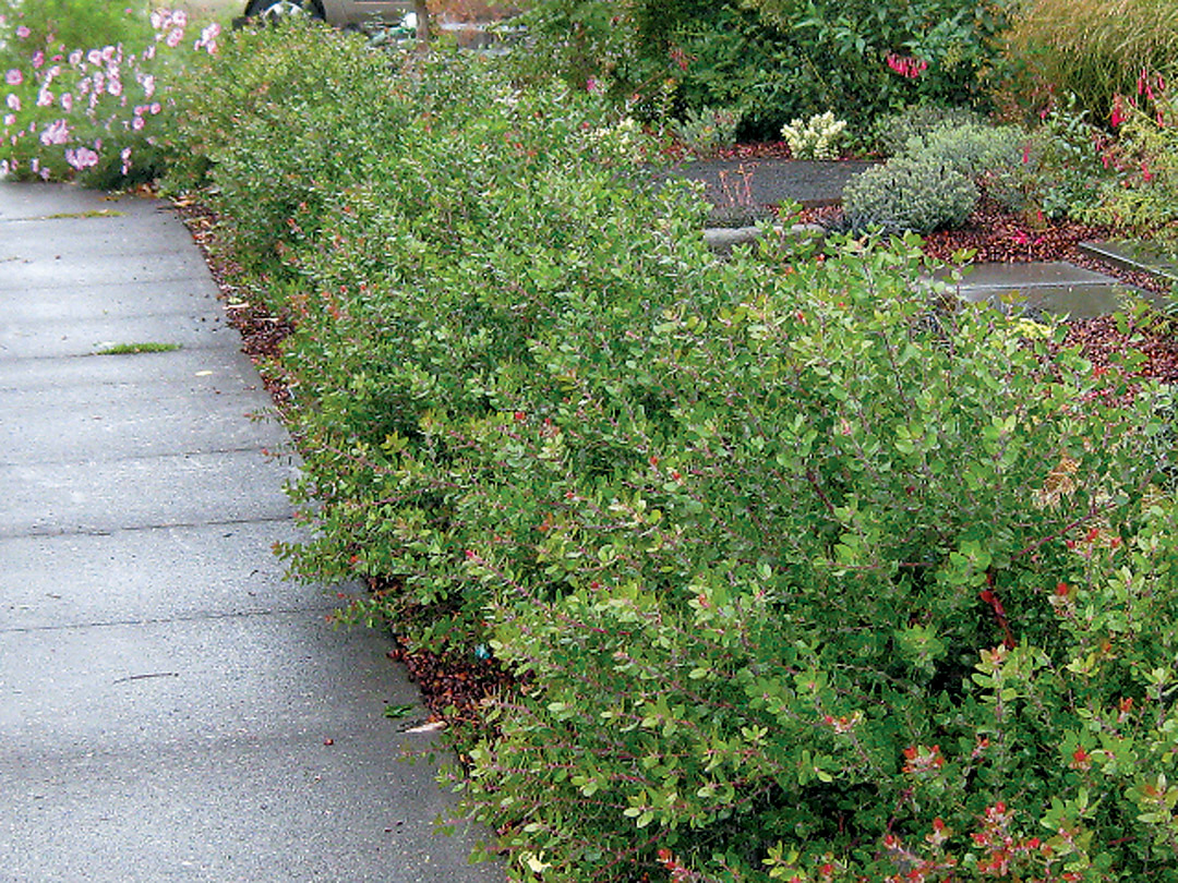 Pacific horticulture society arctostaphylos for pacific for Garden shrubs