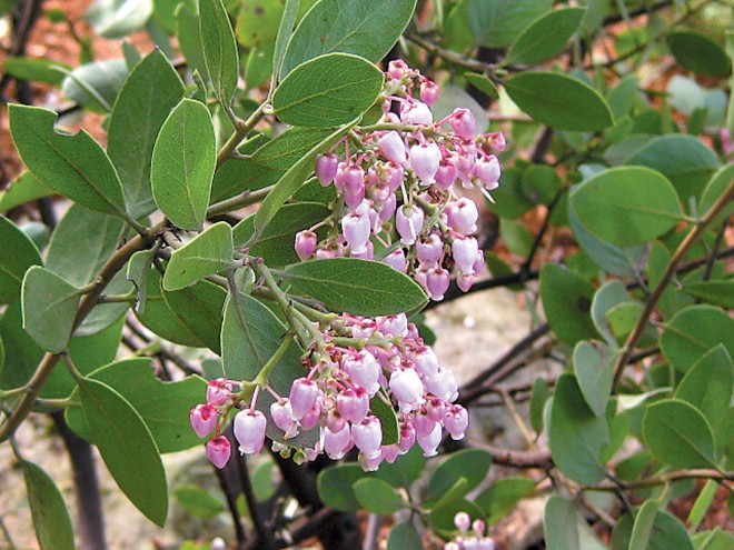 Arctostaphylos densiflora 'Howard McMinn' in a garden setting. Author's photograph - See more at: http://www.pacifichorticulture.org/articles/arctostaphylos-for-pacific-northwest-gardens/#sthash.cFQDub9E.dpuf