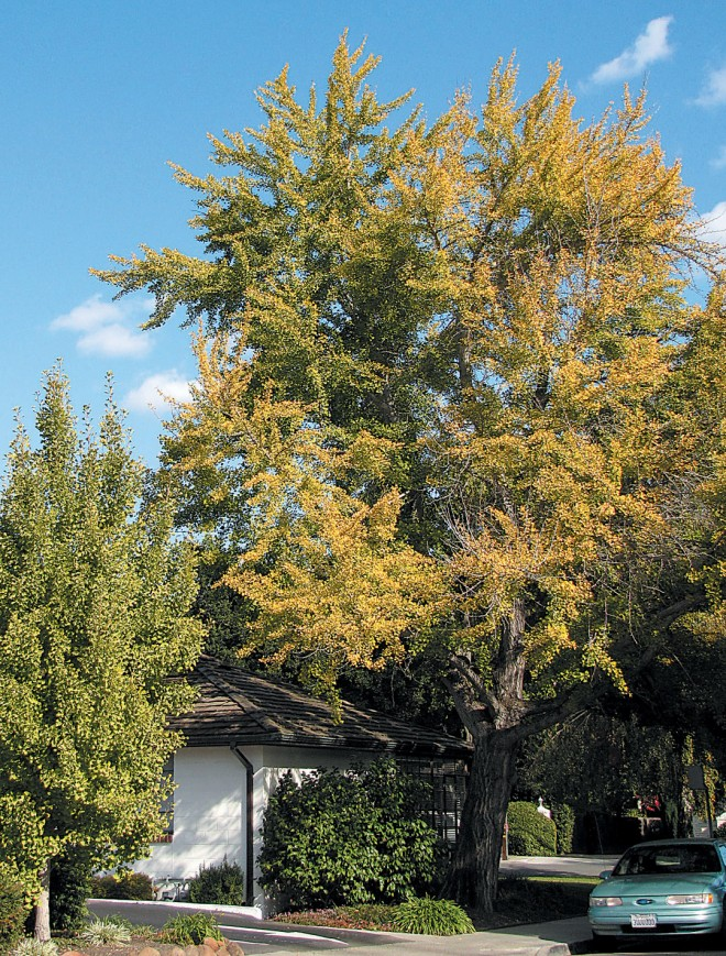 A beautifully shaped specimen of the deciduous ginkgo (Ginkgo biloba) developing its fall color. Photograph by RGT - See more at: http://www.pacifichorticulture.org/articles/trees-in-the-fire-safe-landscape/#sthash.4RNdKEUc.dpuf