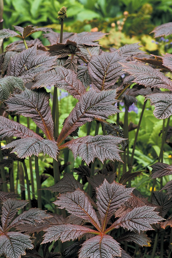 Rodgersia podophylla. Author's photographs, except as noted; all photographs courtesy Great Plant Picks