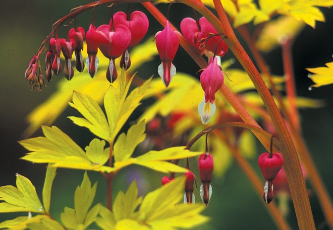 Golden bleeding heart (Dicentra spectabilis 'Gold Heart')