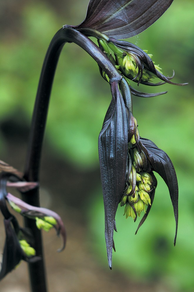 Disporum cantoniense 'Night Heron'