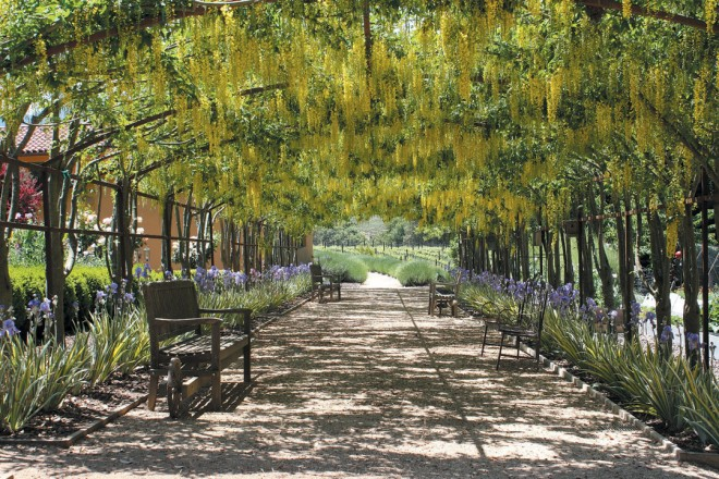 The laburnum arch in Sandra Rennie's garden in may, with iris pallida 'Variegata' flowering below and perfect mounds of english lavender (lavendula angustifolia) beyond. author's photographs