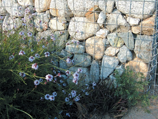 The delicate leaves and flowers of Verbena lilacina 'De la mina' contrast with the gabions full of rocks