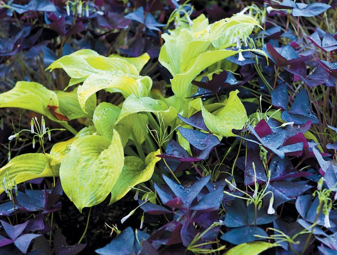 A bold combination of a hosta with Oxalis triangularis subsp. papilionacea 'Atropurpurea'. Photograph by Roger McDonald