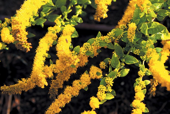 A brilliant yellow goldenrod (Solidago rugosa 'Fireworks'). Photograph by Roger McDonald