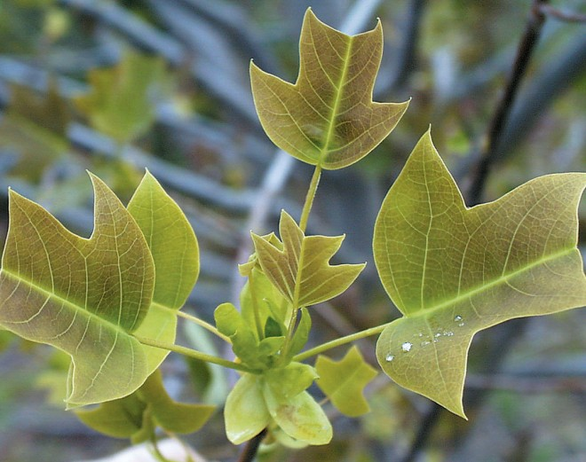 Leaves of the Chinese tulip tree (Liriodendron chinense)