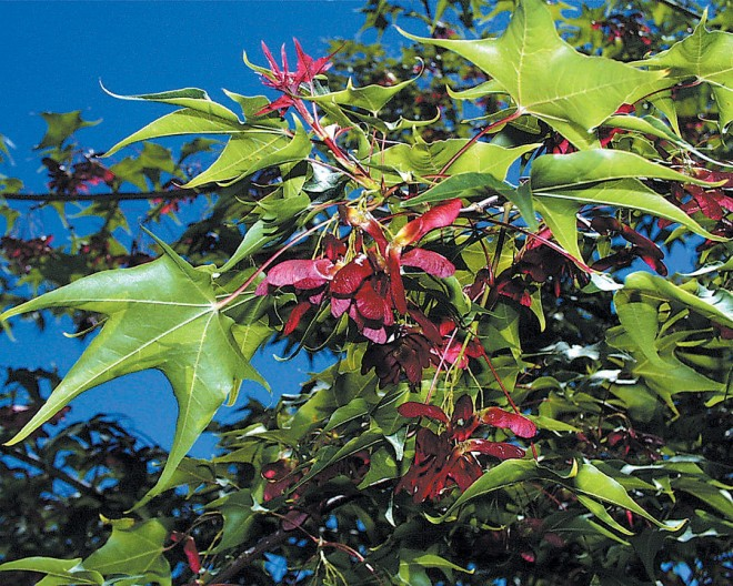 Colorful samaras on Acer cappidocicum.