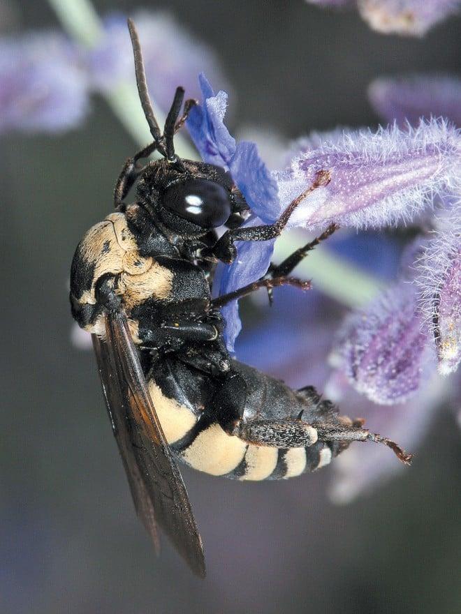 a cuckoo bee (Triepeolus concavus) on lavender (lavandula sp.)