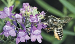 a leaf-cutting bee (megachile sp.) feeding on linaria (linaria purpurea)