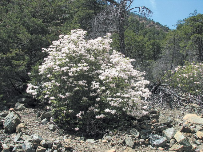 Western azalea (Rhododendron occidentale) in full bloom in may, growing at the edge of a cypress woodland at The Cedars, Sonoma County, California. Author's photographs