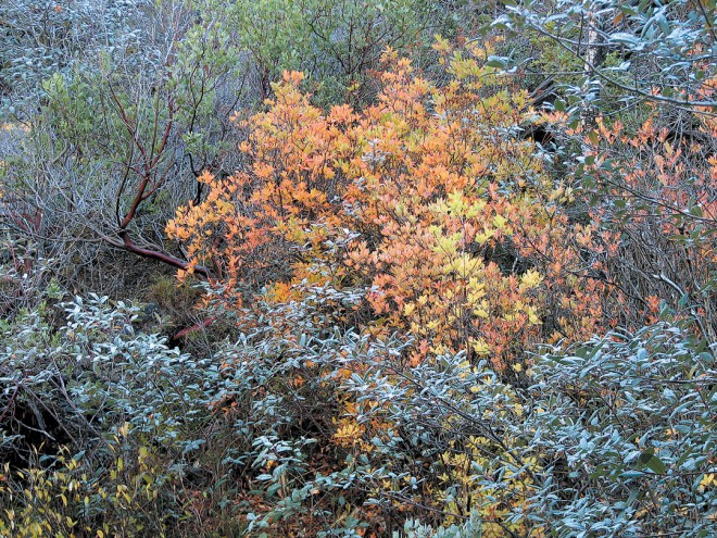 Western azalea (Rhododendron occidentale) colors brightly in autumn at The Cedars, combined here with maroon trunks of manzanita (arctostaphylos) and silvery leaves of Rhamnus californica subsp. tomentella.