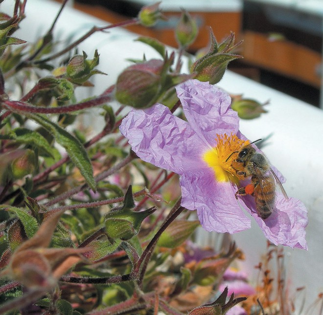 proving that green roofs can offer habitat for wildlife, a rockrose (Cistus) provides pollen for a honeybee at the OSU trials