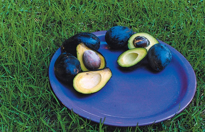 A bowl of luscious, and healthful, avocado fruits