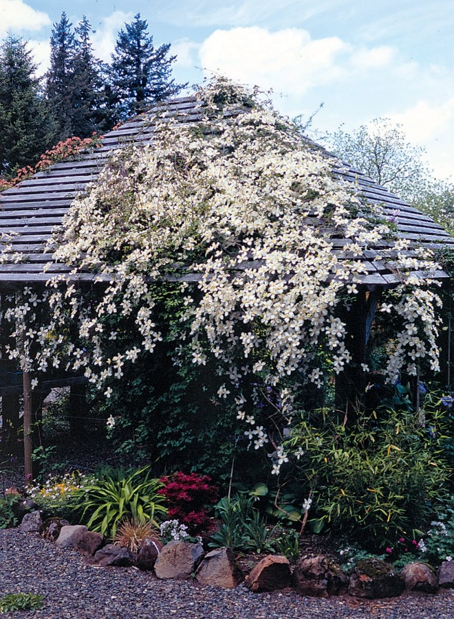 Clematis spooneri flowering in spring on Penny's shade house. Photograph by Allan Mandell