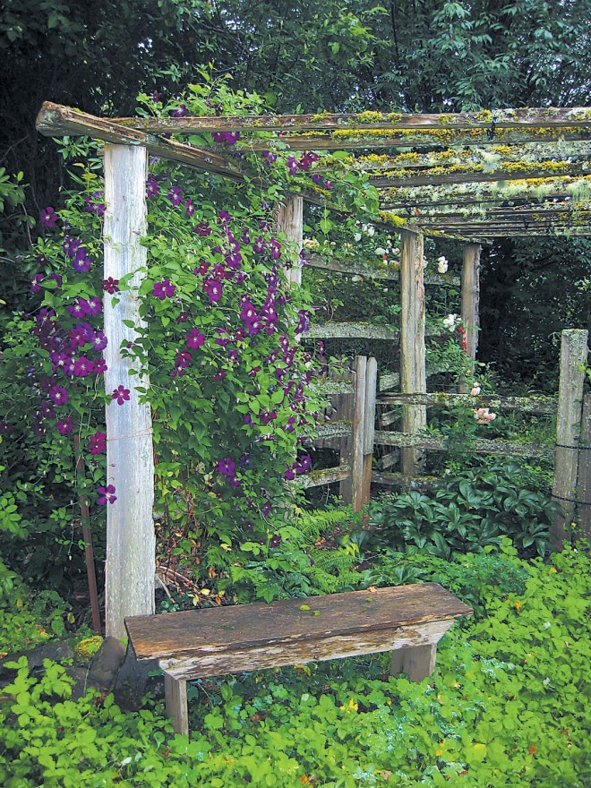 Clematis viticella 'Etoile Violette' on a rustic arbor in late summer. Photograph by Allan Mandell