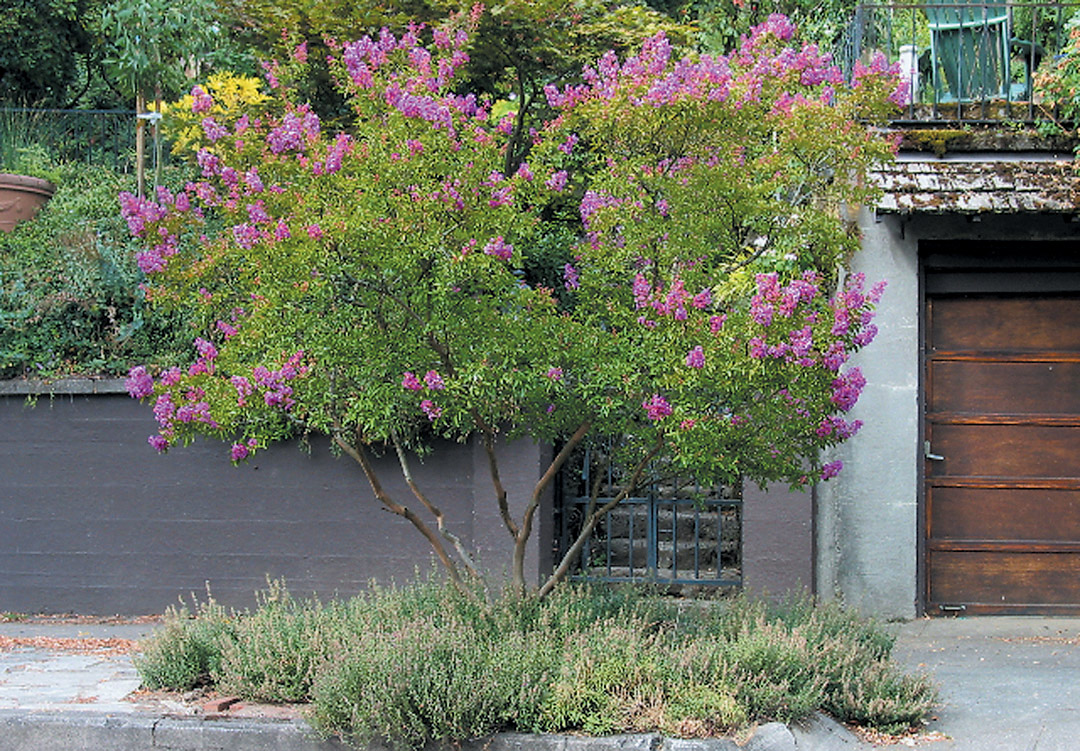 Pacific Horticulture Society | Crape Myrtles in Western Oregon