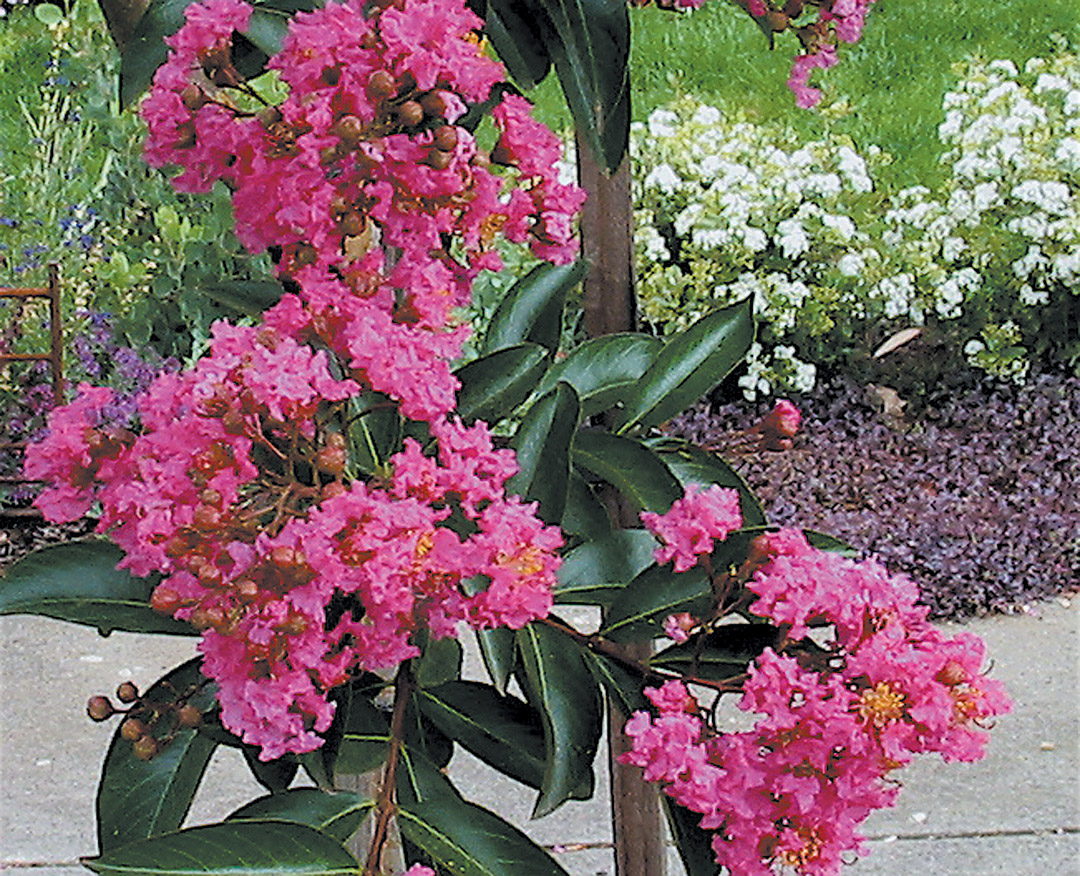 Pacific Horticulture Society Crape Myrtles In Western Oregon