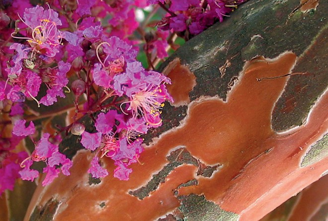 Lagerstroemia 5 fauriei 'Osage'