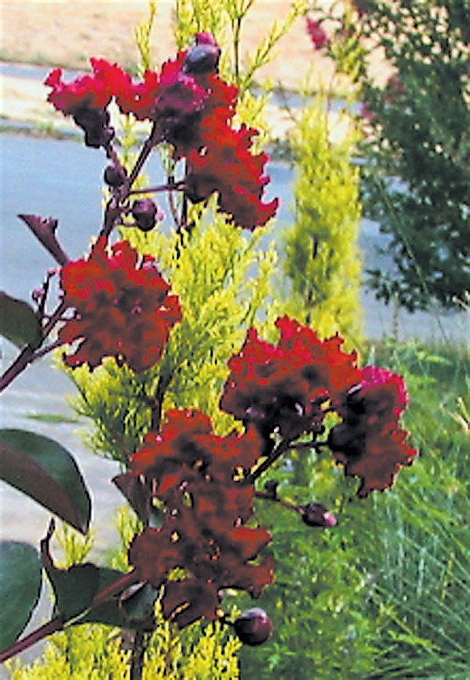 Lagerstroemia indica SIREN RED ('Whit VII')