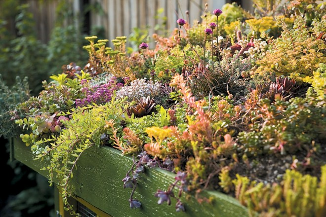 A green roof, planted in dwarf thrift (Armeria) and thirty-five different kinds of sedum, grows happily atop the rabbit hutch.