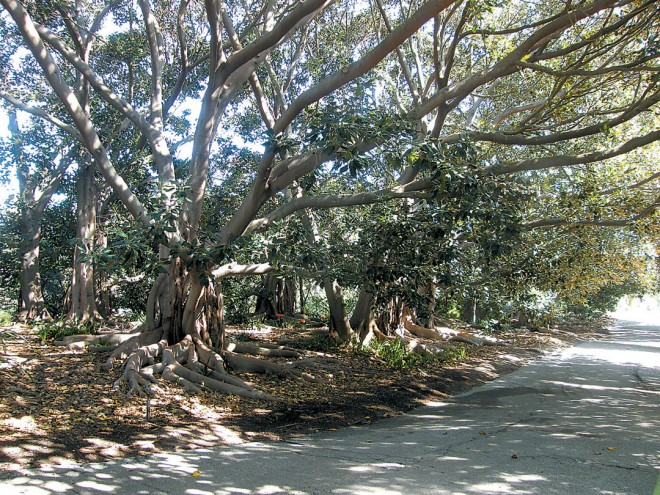 The Banyan Grove, South Coast Botanic Garden. Author's photographs - See more at: http://www.pacifichorticulture.org/articles/trees-of-south-coast-botanic-garden-the-banyan/#sthash.OaxlKLLa.dpuf