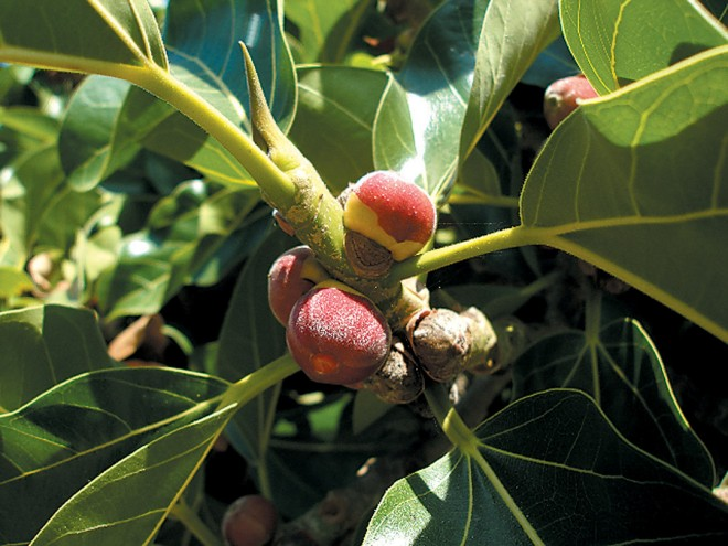 "Fruits of the ""original"" banyan (Ficus benghalensis)"
